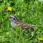 """White-throated sparrow"" by Anewsgal"