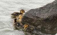 Babies swimming around a rock 103