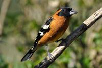 Male Black Headed Grosbeak Spring