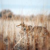 Coyote in tall weeds Art Prints & Posters by Julie Rawlings