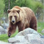 """Grizzly Bear Encounter"" by Dullinger"