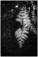 Oregon fern