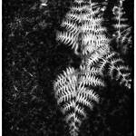 """Oregon fern"" by dennisherzog"