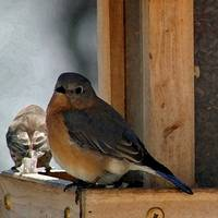 Bluebird  Female