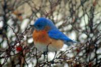 Bluebird in Winter (3)