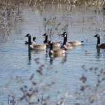 """Swimming Geese Lone Mallard"" by randomizedphotos"