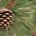 """""""Mountain Pine Cone"""" by randomizedphotos"""