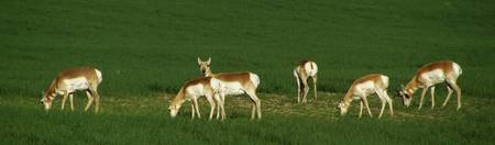 Pronghorn's
