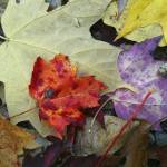 """""""Fall Leaves"""" by steveondrusphotography"""