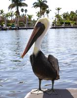 Pelican in Everglades