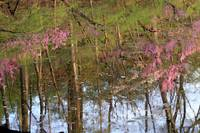 Redbud Reflections