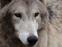 Lucky, the tundra wolf