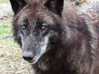 Raven, the timber wolf