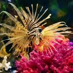 """Lionfish"" by cpsphoto"