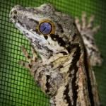 """Gargoyle Gecko 9586"" by cpsphoto"