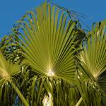 """Fan Palm"" by steveondrusphotography"