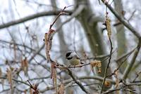 Black-capped chickadee 20120321_38a