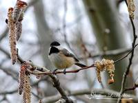 Black-Capped Chickadee 20120321_39a