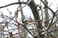 Black-Capped Chickadee 20120321_40a