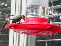 Humming birds congregating at the feeder