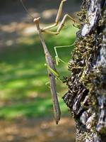 Large Praying Mantis on a Tree