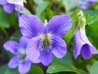Violet Viola Flower purple with white