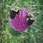 """Two Bumble Bees"" by bavosiphotoart"