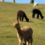 """""""Alpacas"""" by hardman"""