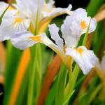 """Iris"" by bbstudios"