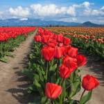 """Tulip Fields"" by ajwright"