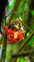 Tree Hermit Crab