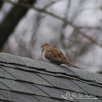 Mourning Dove 20120318_1b