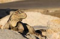 Cuban Rock Iguana