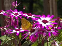 Yellow Butterfly in a Purple Patch