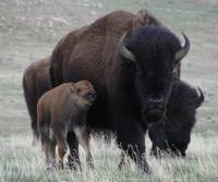 Bison, Mother & Calf.