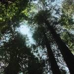 """Redwoods"" by steveondrusphotography"