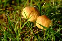 Two Toadstools in the Dew