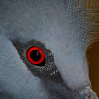 Victoria Crowned Pigeon Eye