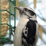 """Downy Woodpecker"" by kcam"