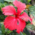 """Red Flower"" by GregLipari"