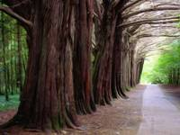lane of irish trees 1