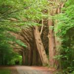 """Lane of Irish trees 2"" by StevenHorst"