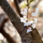 """""""Cherry Blossoms"""" by GregLipari"""