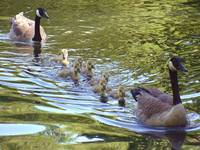 Canada Geese Family Swimming