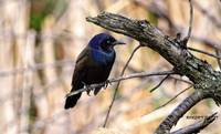 A Male Common Grackle.