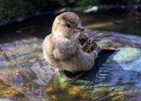 Juvenile Female House Sparrow in the Bird bath.