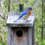 """""""Bluebird on a bluebird house"""" by Anewsgal"""