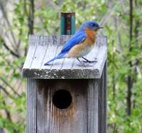 Bluebird on a bluebird house
