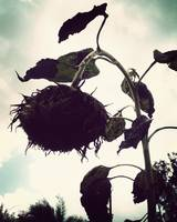 Death of a Sunflower-Vintage