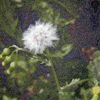 Faded dandelion